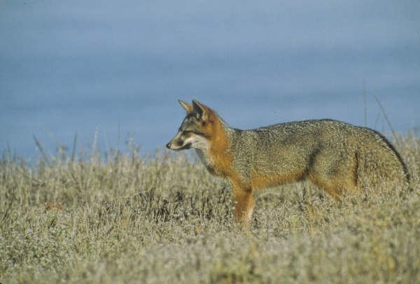 Making a Comeback: The Channel Island Fox