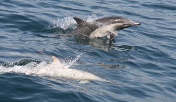 Albino dolphins, sunfish off coast in Dana Point