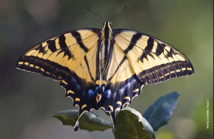 NHM: L.A. Butterfly Survey latest in backyard science
