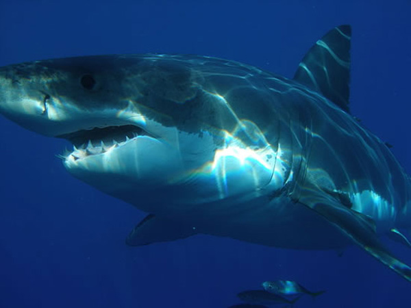 Great White Shark Census: Few Call California coast home