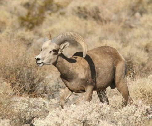 Bighorn-NPCA