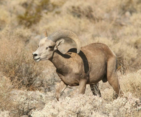 Sheeper Peepers: Looking for Big Horns in the San Gabriel