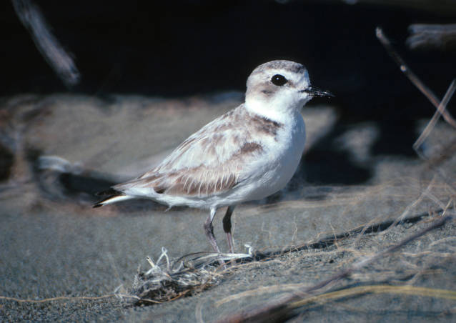 Red Rover, Red Rover, send the Western snowy plover right over…and take the 4/15 wildlife quiz