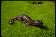 Meander over to our salamander Wildlife Trivia of the Week, 4/1