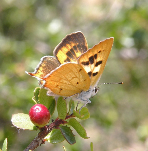 No help for rare SoCal butterfly