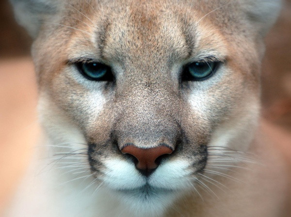 Mountain Lions to Get More Elbow Room
