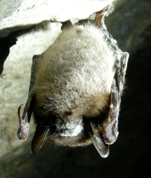 The Emptying of America's Bat Caves