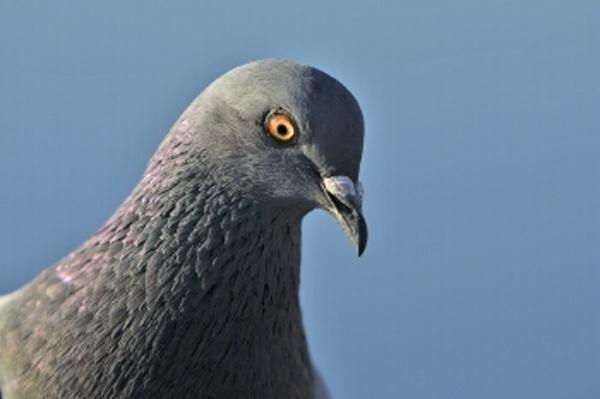 Preferential Pigeons