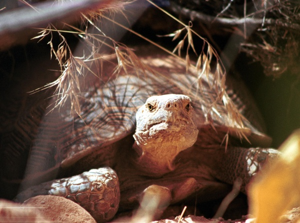 High Noon for the Desert Tortoise?