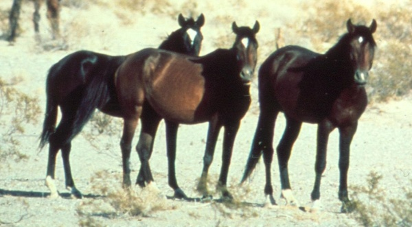 Where do Wild Horses Come From?