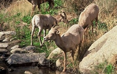 Sheep Spotters Needed for Bighorn Survey