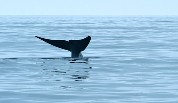 Blue Whales In February? Not So Crazy