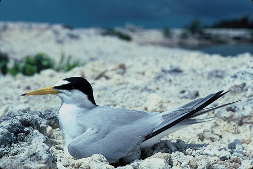 Fewer Least Terns Nest at L.A.'s Port