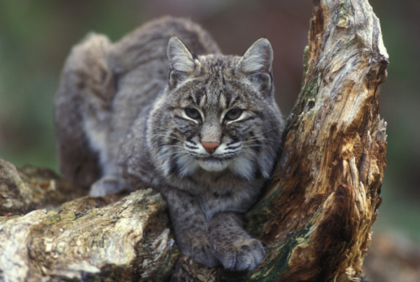 A Statewide Ban on Bobcat Hunting?