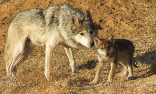 A Good Howl: Mexican Gray Wolf Pups Born