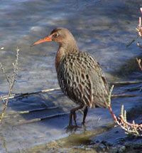 Clapper Rails In Recovery: Number 300 Just Released