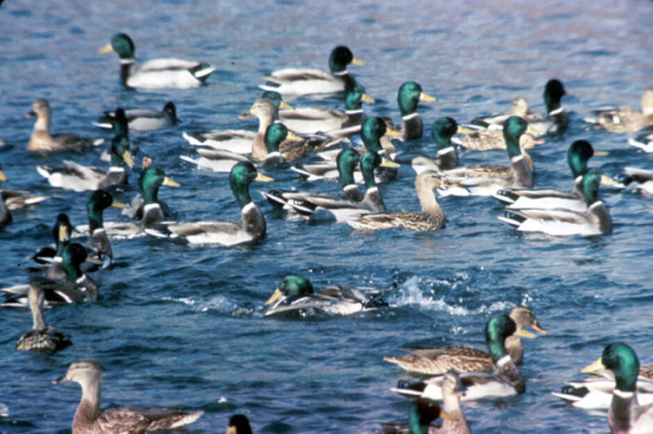 Ducks Dying in Lake Forest; Bread to Blame
