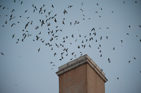 Migrating Vaux's Swifts are Winging it, LA-Style