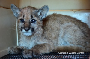"Olive and her brother Leno were rescued in the ""nick of time."" Photo couresty of the California Wildlife Center."