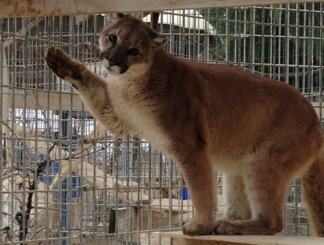 No Longer Cubby – Burbank Mountain Lions Thriving in Paso