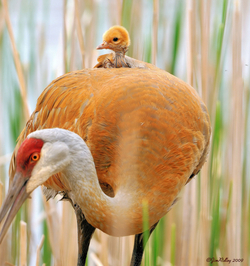Sandhill Crane named 2012 Bird of the Year
