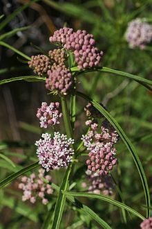 Want Native Milkweed for Monarchs?