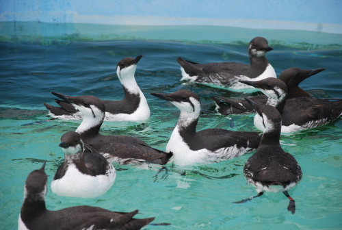 Almost check out time for these murres. Photo: Brenda Rees