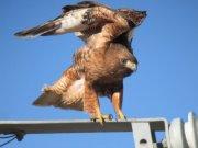 Studying SoCal Hawks