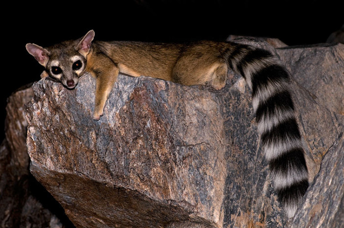 Ringtails in the San Gabe Mountains