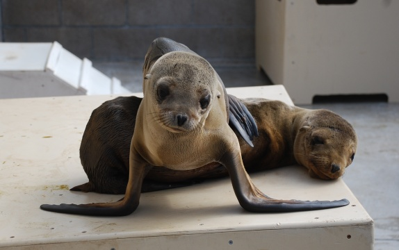 Record Number of Cal Sea Lions Need Help
