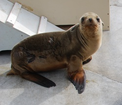 Scientists are stumped as to what is making so many Cal sea lion pups sick. (Photo: Brenda Rees)