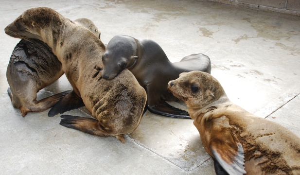 The Marine Mammal Care Center has never seen this many sick Cal seal lions at this time of year. (photo: Brenda Rees)