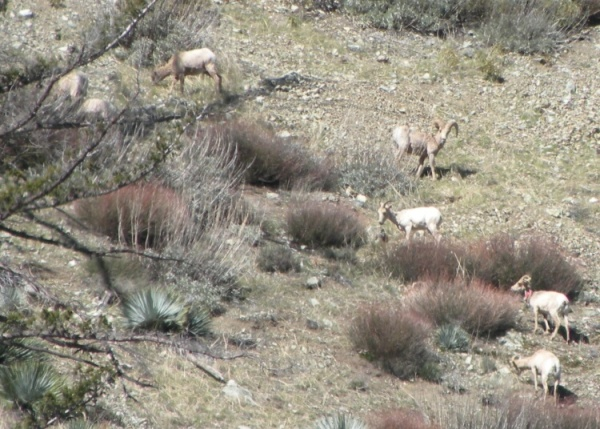 Chanelle's group of 8 (7 visible) sheep seen in Middle Fork Lytle Creek near the trailhead. One sheep with PINK COLLAR. Note the lack of snow! PHOTO: CHANELLE DAVIS