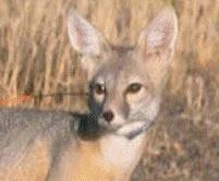 Desert Kit Fox, a Threatened Species?