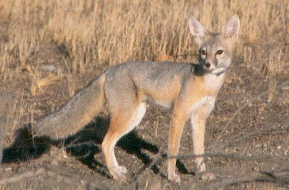 Desert kit fox, watch the road!  Photo from the California Department of Transportation.