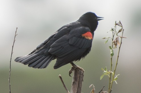 RedwingBlackbird_cropped