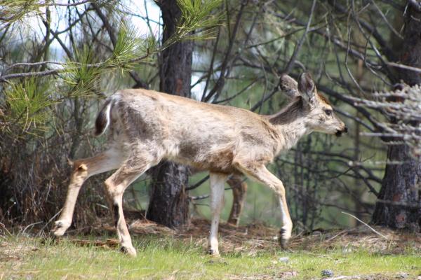 Scratchy, Lousy Deer