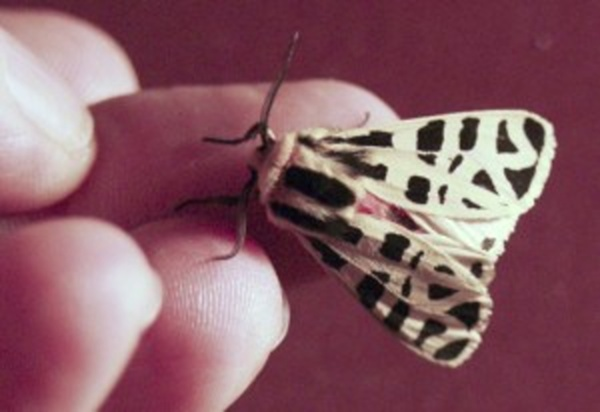 mexican_tiger_moth