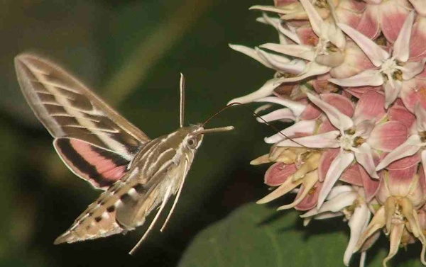 Five L.A. Moths for Moth Week 2015
