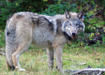 Gray Wolf, OR-10, photo from the Oregon Department of Fish and Wildlife