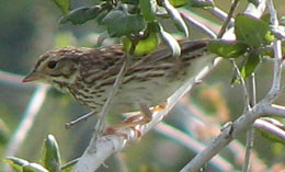 Savannah-Sparrow_Ballona