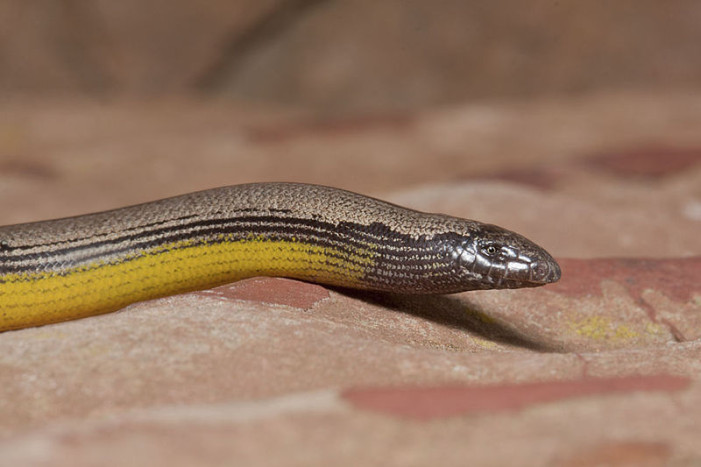 LAX Home to New Legless Lizard Discovery