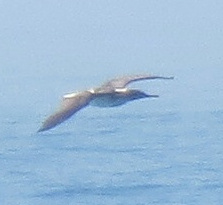 Blue-Footed Booby Spied in SoCal Waters