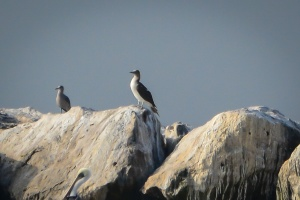 Booby at Marina del Rey Breakwater, Photo by John Ehrenfeld