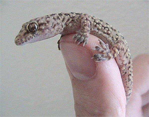 Got Geckos?