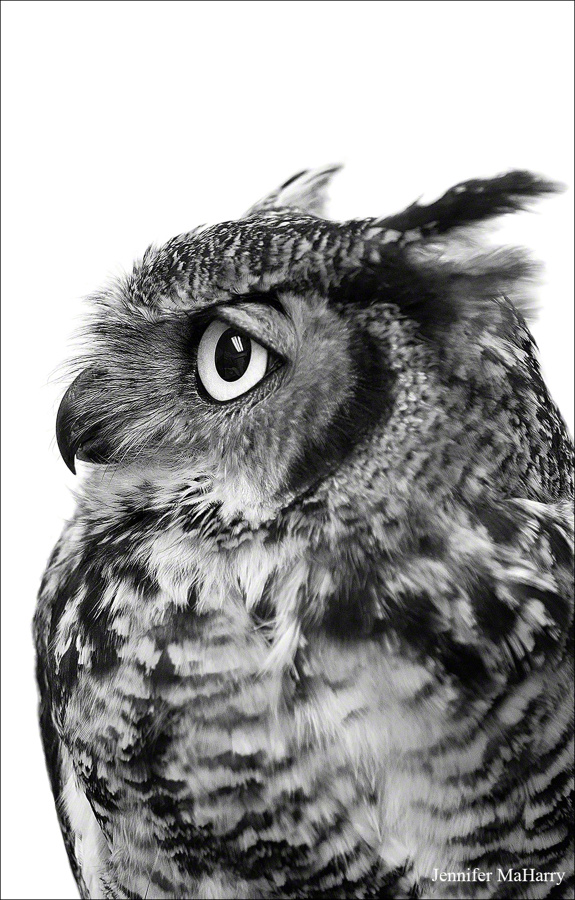 Great Horned Owl - photograph by Jennifer MaHarry
