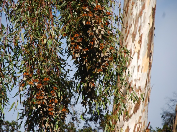 Sunshine on the monarchs in Ventura. Photo by Brenda Rees