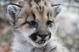 ONLY 3-MONTHS OLD -- These mountain lion siblings were found wandering the residential streets of Burbank.