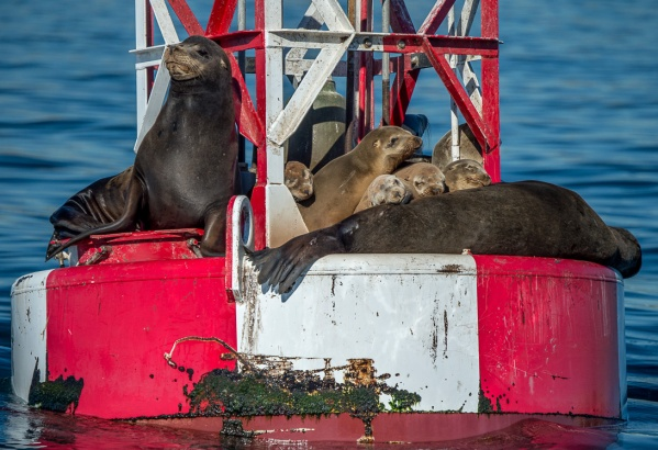 Sea lions in a domesticated moment of peace...photo by Martha Benedict
