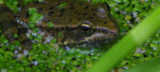California Red-Legged Frog. Photo by Carley Sweet, USFWS
